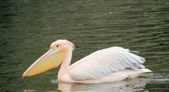 Служители на Община Девня спасиха розов пеликан, забелязан да бедства
