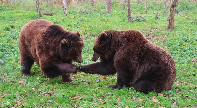 Младоженци дариха 150 кг ябълки за мечките в Белица