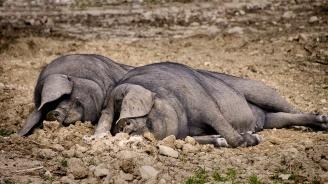 Две нови огнища на африканска чума по свинете в област Шумен