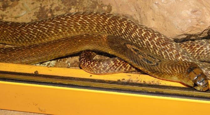 4-метрова кралска кобра изплаши посетителите на търговски център в град