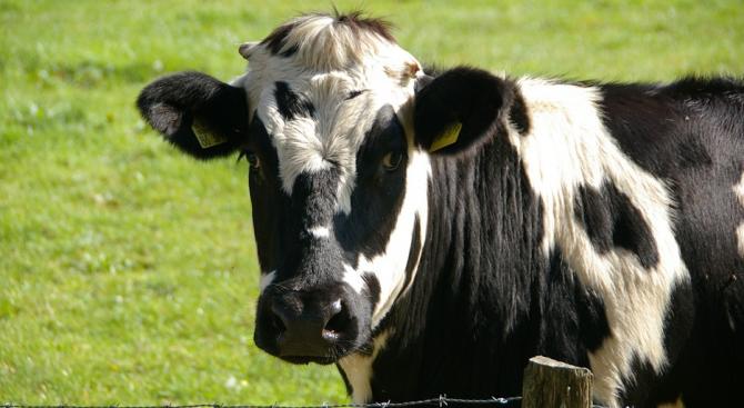 Кравите в целия свят водят непрестанна борба с хапещите ги