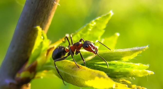 Заснеха най-бързата мравка атлет в света