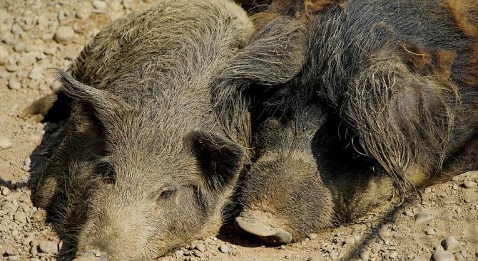 Снимка: Мъртво диво прасе е намерено в габровско село, установен е вирус на АЧС