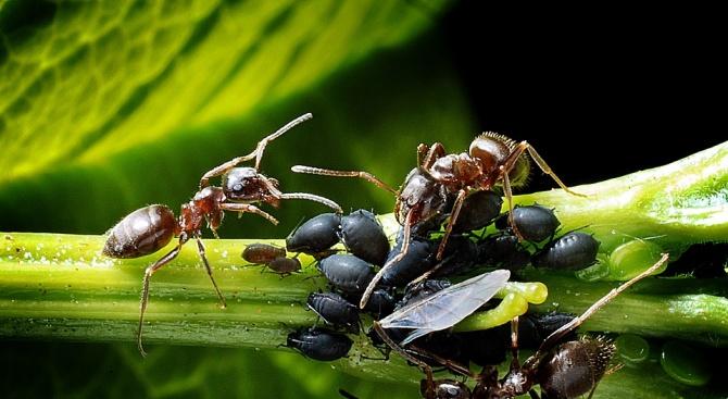 Мравките изпускат естествени антибиотици по растенията, когато ги полазват, и