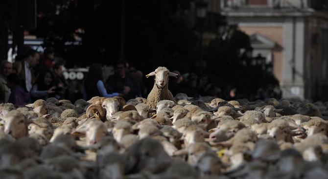 Близо 2000 овце замениха колите по улиците на испанската столицаМадридднес,
