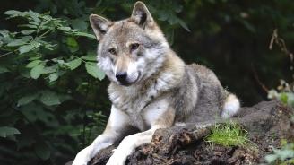 Вълци тормозят жителите на благоевградско село