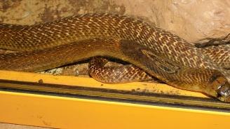 4-метрова кралска кобра изплаши посетителите на търговски център