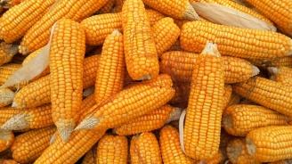 Стопаните от Търговищко са произвели над 78 000 тона царевица