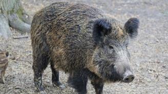 Обявено e ново огнище на АЧС в стадо източнобалканска свиня в община Смядово
