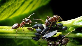 Мравките лекуват растенията с естествени антибиотици