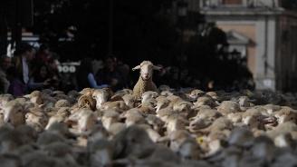 Близо 2000 овце преминаха по улиците на Мадрид