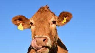Германски полицаи преследваха силно агресивна крава