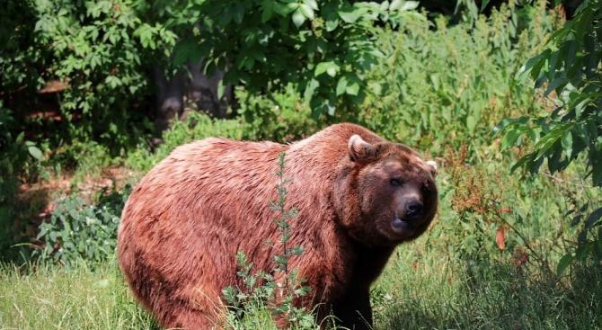 Горски тръгват по следите на мечката, която от седмици гастролира