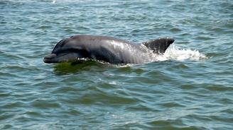 Пет бебета делфини от застрашен вид са забелязани в река в Мианма