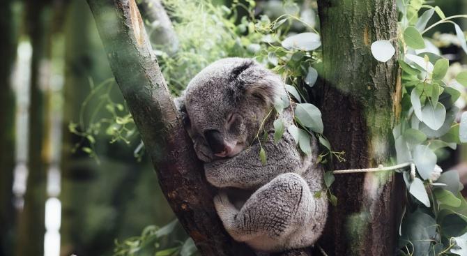 Стотици коали загинаха в горски пожар в Австралия?