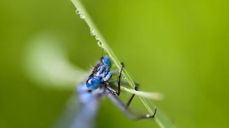 Учени откриха първото насекомо в Южна Америка, излъчващо синя светлина