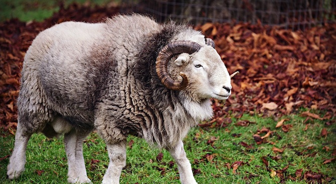 69-годишен пастир е бил нападнат и тежко ранен от разбеснял