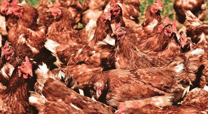 Новозеландецът Стив Мороу реши да спаси кокошка и я купи