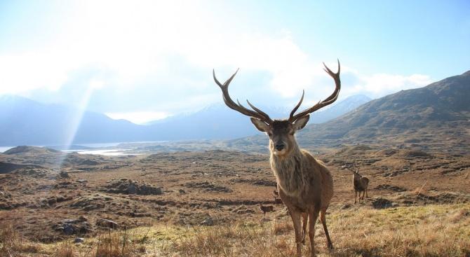 Червените елени еволюират по-бързо заради глобалното затопляне