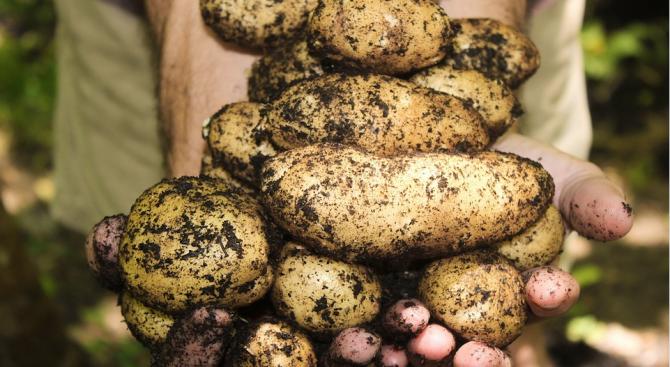 Средният добив от картофи в Пернишка област е 2 267 кг/дка