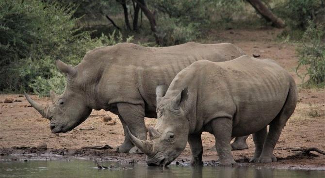 Създадоха фалшив рог от носорог в борба с бракониерството