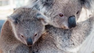Над 350 коали са загинали при горските пожари в Австралия