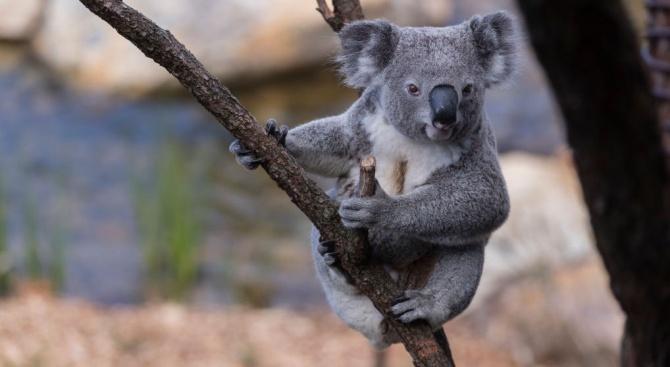 Семейство е приютило 24 коали, оцелели от горските пожари, които
