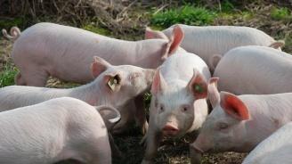 Умъртвиха 99 нерегистрирани прасета в Ахелой