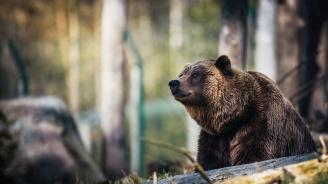 Провериха седем сигнала за нападения на мечки в Смолянско