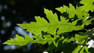 Млада гора от цер израства край Добрич
