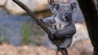 Семейство приюти 24 коали, оцелели от пожарите в Австралия