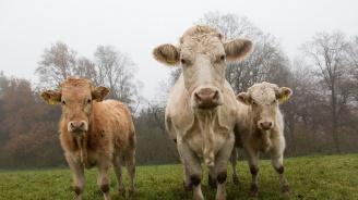 3 крави, пометени от урагана Дориан, бяха открити на остров