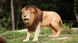 Прокуратурата в Разград разследва проявена жестокост към лъва Любо от зоокъта в града