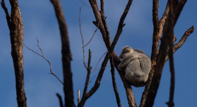 Жена рискува живота си, за да спаси коала от огнената