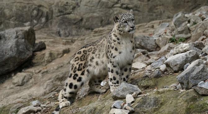 Екземпляр от рядко срещаната порода снежен леопард беше заснет с