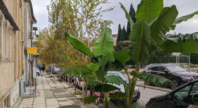 """Бананова палма от вида """"Муса"""" расте на улицата пред заведение"""