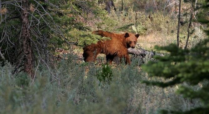 Калифорнийска мечка реши да поспи на задната седалка на паркирана