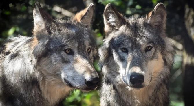 Вълци са срещнали двама младежи от София, които оцеляха по