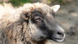 Жива овца в багажника на шофьор без книжка