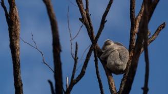 Жена рискува живота си, за да спаси коала от огъня в Австралия