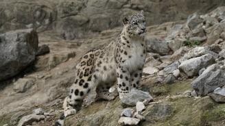 Заснеха критично застрашения вид снежен леопард