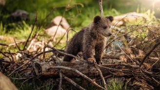 Полски защитници на мечките се обявиха против новогодишен концерт в планината