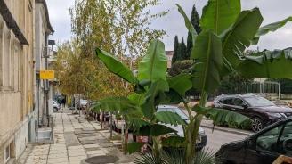 Голяма бананова палма расте в центъра на Варна