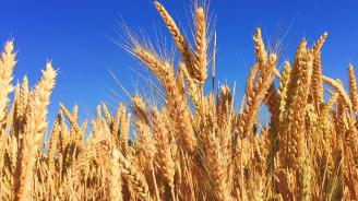 Мухи нападат пшеницата в Добрич заради необичайно топлото време