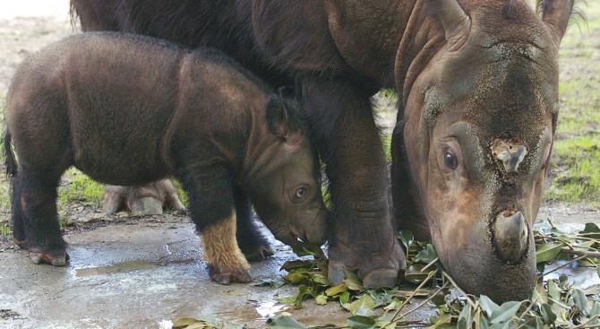 В Малайзия вече няма суматрански носорози, след като последният екземпляр