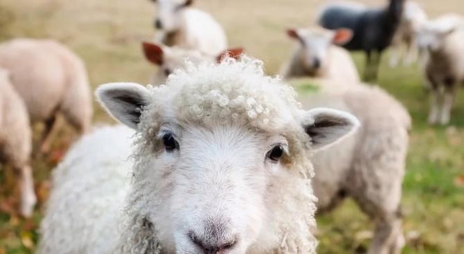 """БАБХ: Няма риск от заболяване """"луда овца"""" в България"""