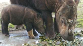Умря последният суматрански носорог в Малайзия