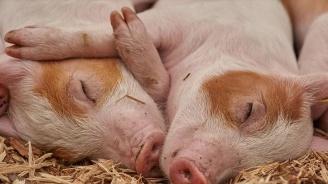 От днес тези, които отглеждат Източнобалканска свиня могат да заявяват помощ по de minimis