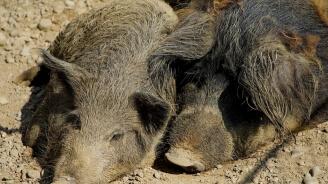 Нов случай на африканска чума по диви свине във Врачанско