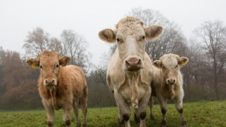 Крави получиха очила за виртуална реалност